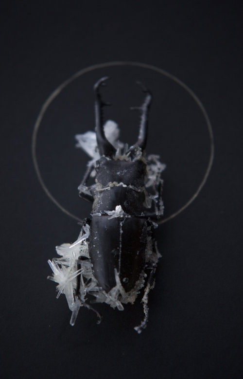 Insect Alchemy: Tyler Thrasher _beetle